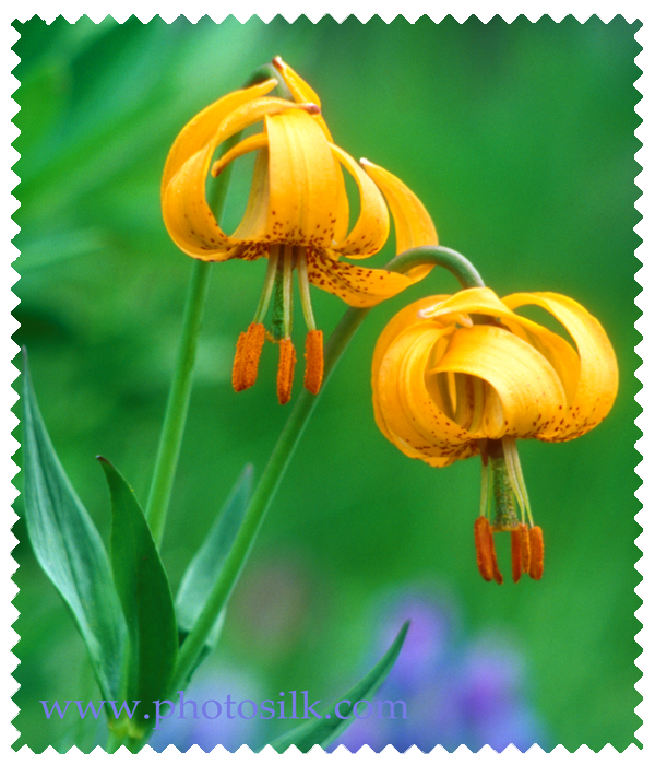 Colombia Lilies