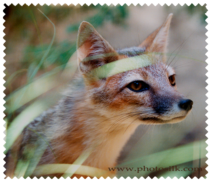 Desert Swift Fox