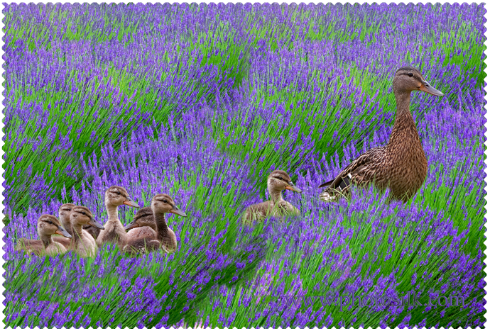 Ducklings in Lavender