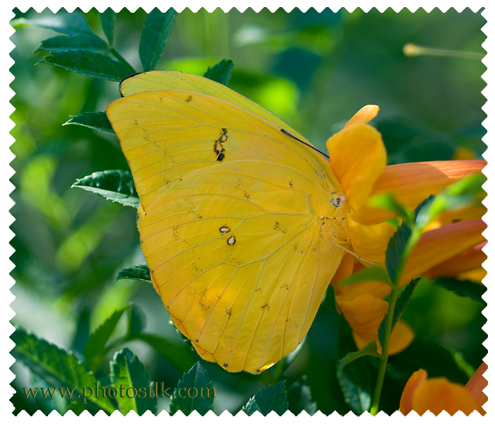 Mountain Clouded Butterfly