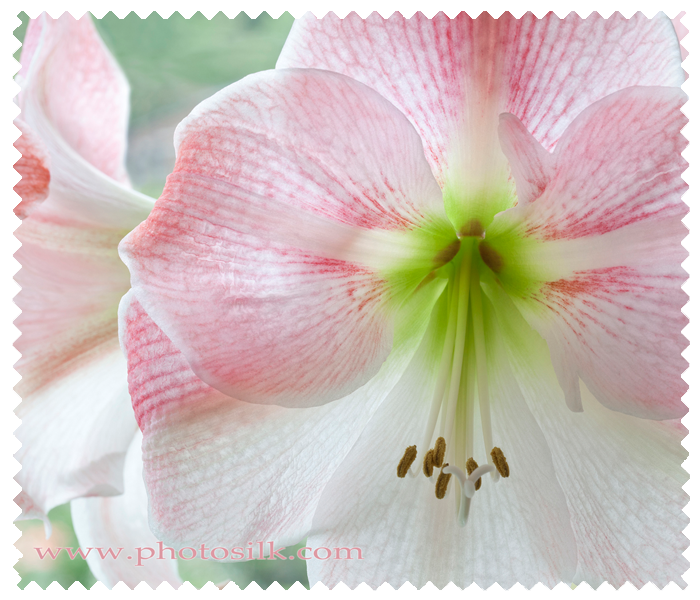 Pink Diamond Amaryllis