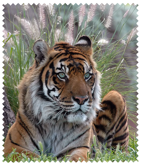 Tiger in Grasses