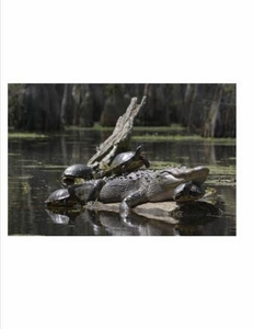 Merchants Millpond Alligator