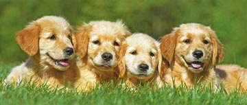 Ravensburger <br>200 Piece <br>Golden Puppies