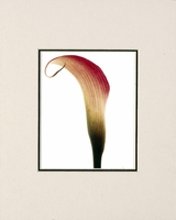 CALLA LILY - SMALL MATTED REPRODUCTION