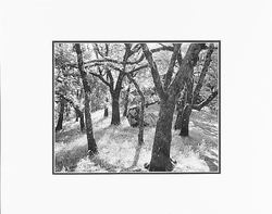 """ANSEL ADAMS - FOREST, CASTLE ROCK STATE PARK, CALIFORNIA Large Ansel Adams Matted Reproduction (16"""" x 20"""")"""