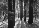 """ANSEL ADAMS - FOREST FLOOR YOSEMITE  Large Ansel Adams Matted Reproduction (16"""" x 20"""")"""