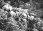 """ANSEL ADAMS - FOREST, NEAR BIG SUR, CALIFORNIA  Large Ansel Adams Matted Reproduction (16"""" x 20"""")"""