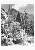 HALF DOME, TREES, DEER, WINTER, YOSEMITE NATIONAL PARK, CA, 1948