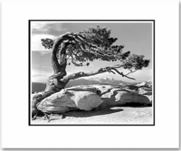 ANSEL ADAMS - JEFFREY PINE, YOSEMITE - SMALL MATTED REPRO
