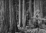 "REDWOOD GROVE, NORTHERN CALIFORNIA  Large Ansel Adams Matted Reproduction (16"" x 20"")"