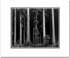 "REDWOODS, BULL CREEK FLATS, CALIFORNIA  Large Ansel Adams Matted Reproduction (16"" x 20"")"