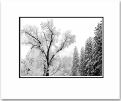 "TREE AND SNOW, YOSEMITE NAT'L PARK,  CALIFORNIA  Large Ansel Adams Matted Reproduction (16"" x 20"")"