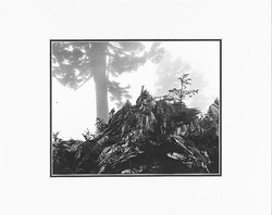 """ANSEL ADAMS - TREE, STUMP AND MIST  Large Ansel Adams Matted Reproduction (16"""" x 20"""")"""
