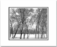 "YOUNG OAKS IN SNOW, YOSEMITE NAT'L PARK  Large Ansel Adams Matted Reproduction (16"" x 20"")"