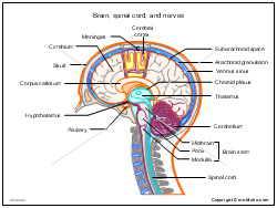 Brain spinal cord and nerves illustrations brain spinal cord and nerves ccuart Gallery