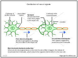 Conduction of nerve signals