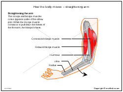 How the body moves - straightening arm