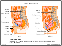 Length of the urethra