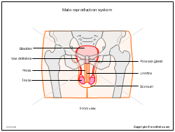 Male reproduction system