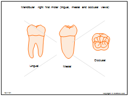 Mandibular right first molar (lingual mesial and occlusal views)