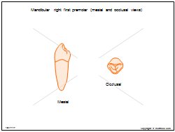 Mandibular right first premolar (mesial and occlusal views)