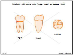 Mandibular right second molar (lingual mesial and occlusal views)