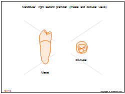 Mandibular right second premolar (mesial and occlusal views)