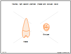 Maxillary right second premolar (mesial and occlusal views)