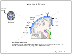Motor map of the brain
