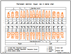 Permanent dentition - lingual view in dental chart