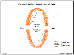 Permanent dentition - occlusal view with facial
