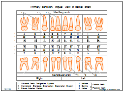 Primary dentition - lingual view in dental chart