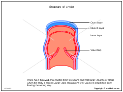 Structure of a vein