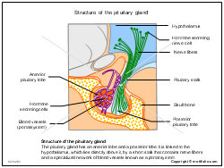 Structure of the pituitary gland