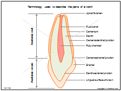 Terminology used to describe the parts of a tooth