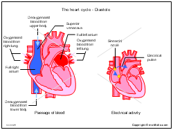 The heart cycle - Diastole