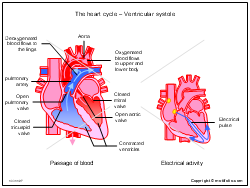 The heart cycle - Ventricular systole