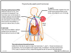 Thyroid and parathyroid hormones