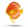 "3.75"" Discus Fish Decor, 1 pc"
