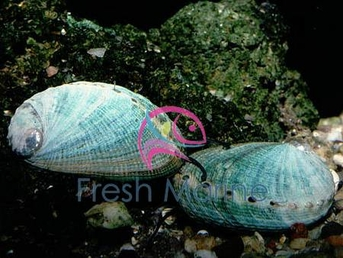 Abalone - Haliotis species - Wild Abalone