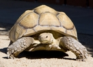 Male Sulcata Adult 18 inch Male Tortoise