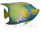 Angelfish, Large