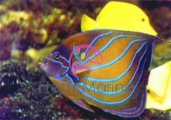 Annularis Angelfish - Pomacanthus annularis - Blue Ringed Angel Fish