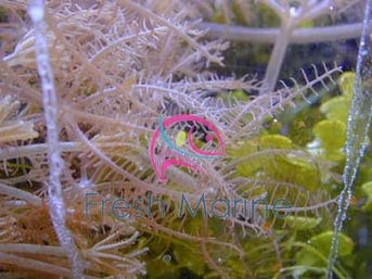 Anthellia Polyp - Glove Anthellia Polyp - Green Glove Polyps - Eight Tentacle Polyps - Encrusting Polyps