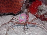 Arrow Crab - Stenorhynchus seticornis