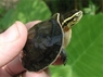 Asian Box Turtles - Cuora amboinensis - Asian Turtles