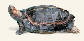 Asian Wood Turtles - Heosemys grandis - Giant Asian Pond Turtle
