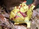 Assorted Angler - Antennarius species - Frogfish - Assorted Frog Fish