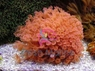 Assorted Flower Pot Coral - Goniopora lobata - Daisy Coral - Flower Pot Coral - Sunflower Coral - Yoo Stone Coral
